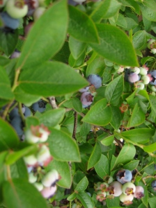 Blueberries in Bloom